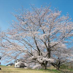 桜 2021 長沼公園