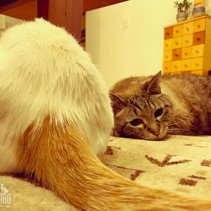 仲間の尻尾にじゃれる猫、おもちゃにされる尻尾を許す猫