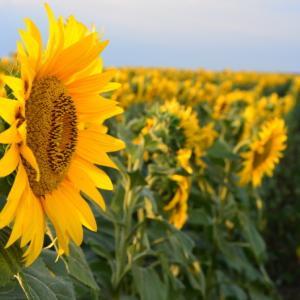 2020年の夏のルーマニアのヒマワリ畑の写真!ルーマニアの花カレンダー。