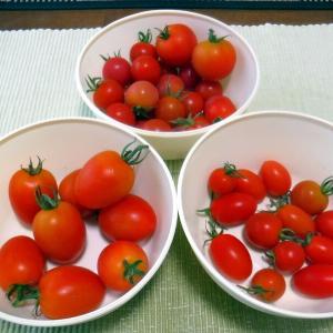 TOMATO!トマト!とまと!