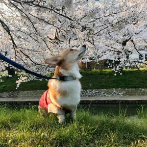 桜が満開となった松川ベリ桜並木をコーギのしめじとお花見散歩するょ!
