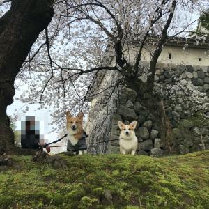 2021年春! 富山城址公園と松川ベリ桜並木をお散歩するょ!