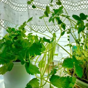 台所 窓辺の野菜たち 元気をくれる!!