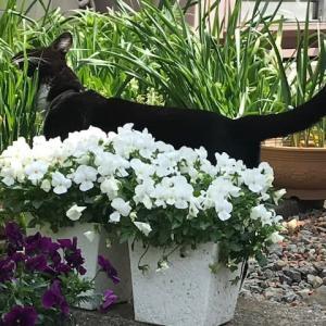猫草 むしゃむしゃ
