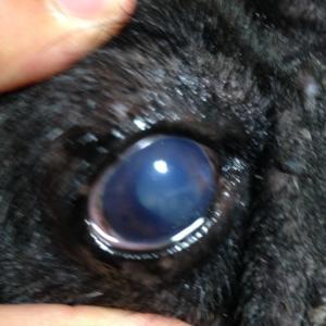 大福の角膜潰瘍