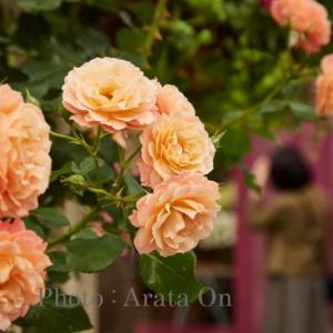 【参加者募集】 【(5/16) 初めてのストロボ!薔薇とガーデニング撮影実習】