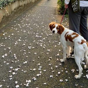 桜は来年も咲く・・・ & お買い物レポその2