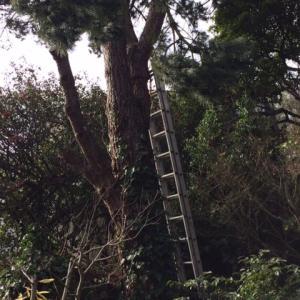 大木を切る、お隣さんのレモン ツリーを直撃。