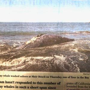 サンフランシスコ湾の鯨の異変。