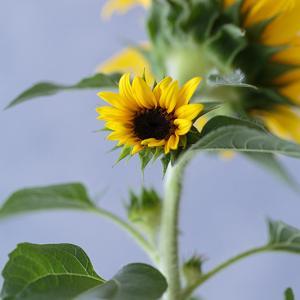ひまわり2番花