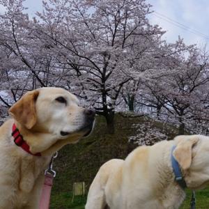 もうすぐ満開 息子たちの記念樹桜