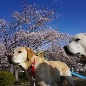 桜満開 風が吹き荒れる