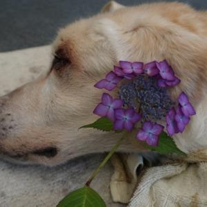 くん子母と山紫陽花
