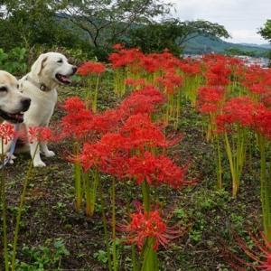 花のお山の彼岸花