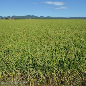 秋になったに猛暑の稲田
