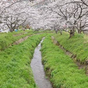 新川と五右衛門川の桜