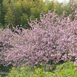 斐川公園の八重桜