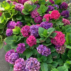紫陽花はSummerの色