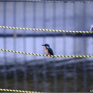 鳥見は楽し・・・カワセミ。
