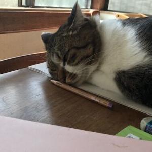 うちの「かまってちゃん」な、キジトラ猫の気ままな日常