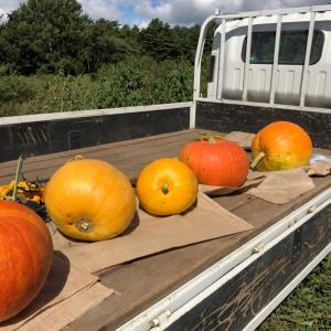 かぼちゃ王子、収穫されました