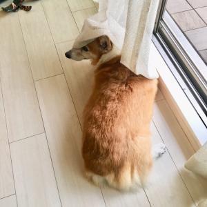 コーギーリキ:カーテンと戯れる
