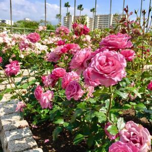 大阪市立長居植物園でバラが満開
