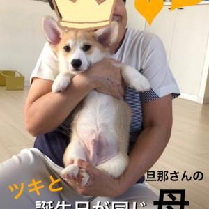 子犬コーギーツキたん:抱っこ大会