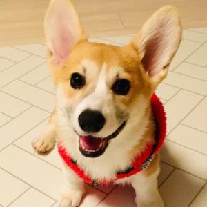 子犬コーギーツキ:パピー服もらったよ
