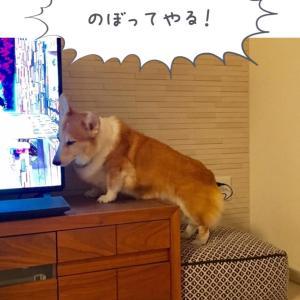 コーギーリキ:テレビ台に上る。