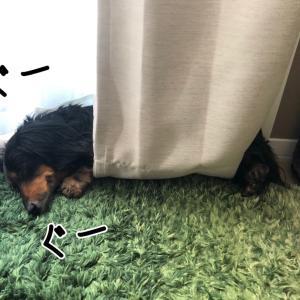 カーテンを腹巻にして寝る女っ!