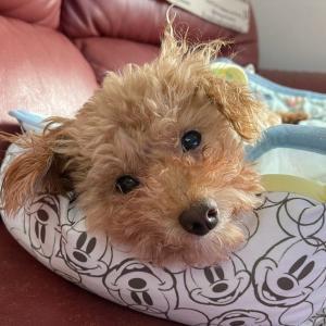 保護犬のトイプードル、おはなちゃん