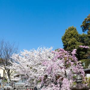 伊勢寺の桜