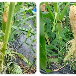 間引き苗栽培トウモロコシの収穫他