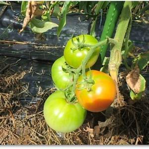 トマトはもう少し♪