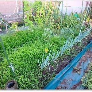 久々の菜園は、草取りだった・・・