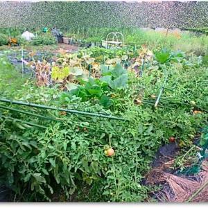 トマトの惨状・・・