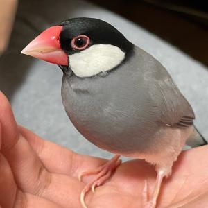 思い思いに楽しむ文鳥たち