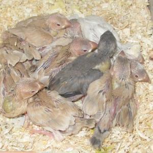 アゲイト文鳥の雛ちゃん達