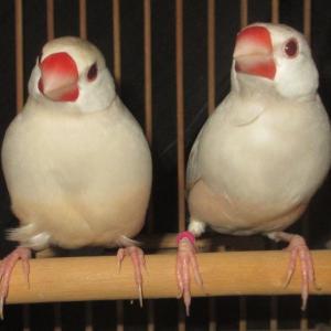トパーズ文鳥の♂やっと生まれました。目標達成!