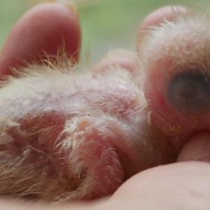 残りのオキナの雛ちゃん、2羽手乗りにしたよ。