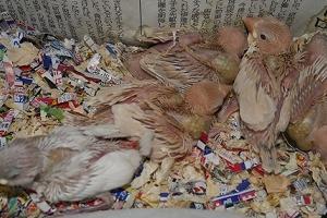 トパーズ文鳥の色変わりとアゲイト文鳥の雛たち