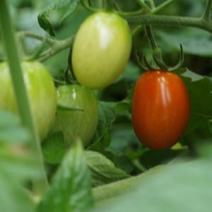 家庭菜園記録~ついにミニトマト収穫!