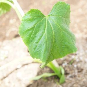 家庭菜園記録♪「家庭菜園はじめました」から、1か月