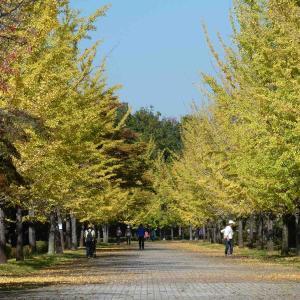 10月30日秩父ミューズパークの銀杏を観てきました〜