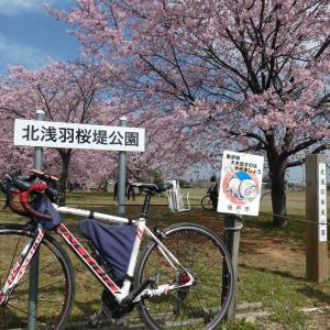 3月13日北浅羽できれいな桜を見てきました