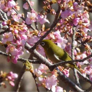 土手で楽しいランチをしてときがわ町へ河津桜を見に行きました。