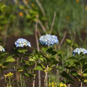 紫陽花とカルガモのお引っ越し