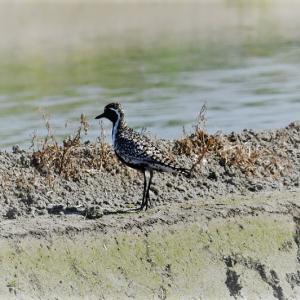 田圃に水が入り水生生物も野鳥も大喜びだ