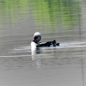 彩湖のシロエリオオハム